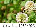 ミツバチとクローバーの花 シロツメクサの花とミツバチ 42624923