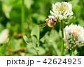 ミツバチとクローバーの花 シロツメクサの花とミツバチ 42624925