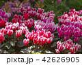 シクラメン 花 植物の写真 42626905