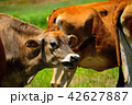 牛 ジャージー牛 乳牛の写真 42627887