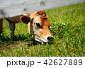 牛 ジャージー牛 乳牛の写真 42627889