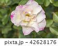 バラ 薔薇 バラ科の写真 42628176