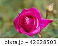 バラ 薔薇 バラ科の写真 42628503