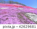 東藻琴芝桜公園<満開> 42629681