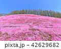 東藻琴芝桜公園<満開> 42629682
