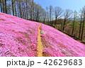 東藻琴芝桜公園<満開> 42629683