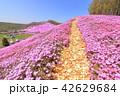 東藻琴芝桜公園<満開> 42629684