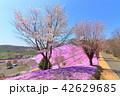 東藻琴芝桜公園<満開> 42629685