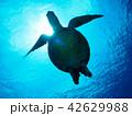 ウミガメ 42629988