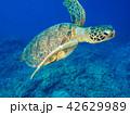 ウミガメ 42629989