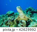 ウミガメ 42629992