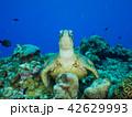 ウミガメ 42629993