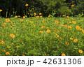 コスモス 花 植物の写真 42631306