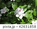 日々草 花 植物の写真 42631858