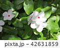 日々草 花 植物の写真 42631859