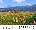 富士山 富士市 田んぼの写真 42639412