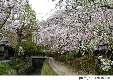 哲学の道の春 42640116