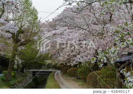 哲学の道の春 42640117