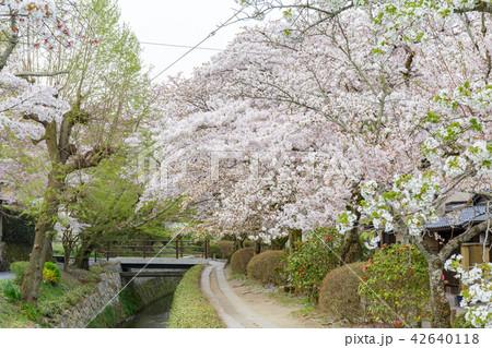 哲学の道の春 42640118