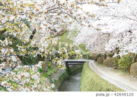 哲学の道の春 42640120