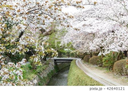 哲学の道の春 42640121