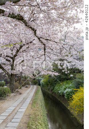 哲学の道の春 42640122