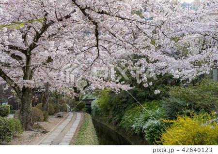 哲学の道の春 42640123