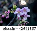 春 桜 河津桜の写真 42641367