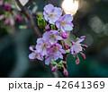 春 桜 河津桜の写真 42641369