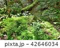 長野県、八ヶ岳の白駒の森と苔 42646034