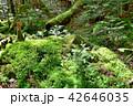 長野県、八ヶ岳の白駒の森と苔 42646035