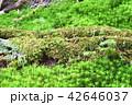 長野県、八ヶ岳の白駒の森と苔 42646037
