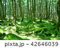 長野県、八ヶ岳の白駒の森と苔 42646039