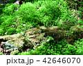 長野県、八ヶ岳の白駒の森と苔 42646070