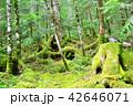 長野県、八ヶ岳の白駒の森と苔 42646071