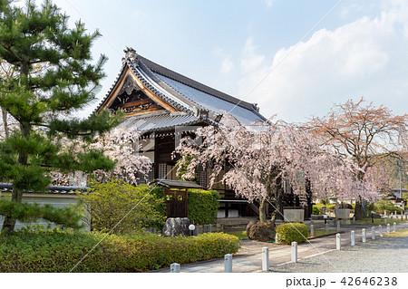 妙満寺 - 桜 42646238