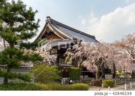 妙満寺 - 桜 42646239