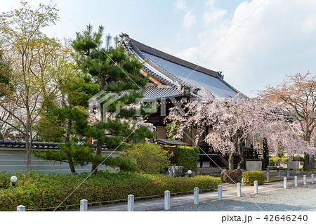 妙満寺 - 桜 42646240