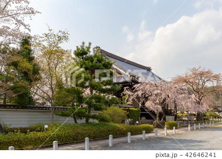 妙満寺 - 桜 42646241