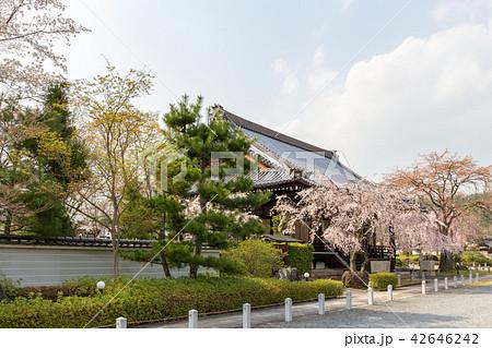 妙満寺 - 桜 42646242