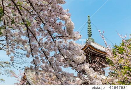 本法寺 - 桜 42647684