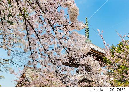 本法寺 - 桜 42647685