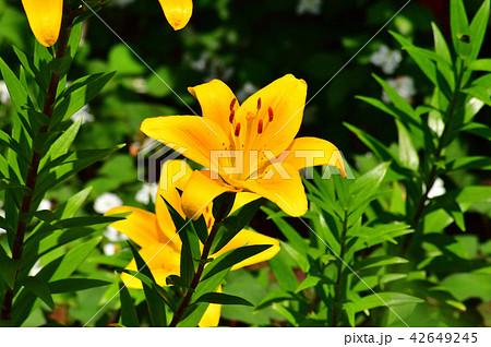 スカシユリ系のユリの一種(コネチカット・キング)と推定される植物の黄色い花を撮影した写真 42649245