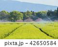 お茶畑 42650584