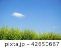 菜の花と青空 42650667