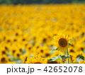 向日葵 花 ひまわり畑の写真 42652078