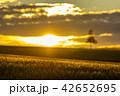 美瑛 丘 畑の写真 42652695