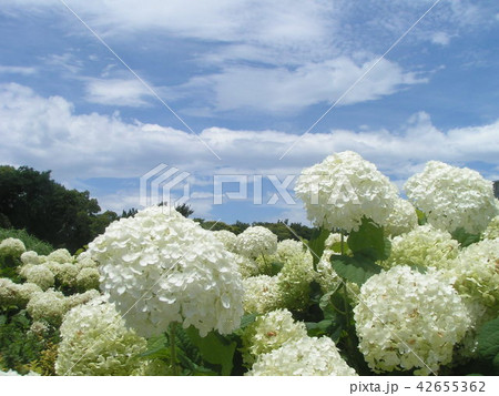 ハイドランジアアナベルというアジサイの白い花 42655362