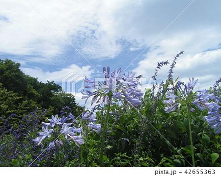 青空と白い雲とアガパンサスの青い花 42655363
