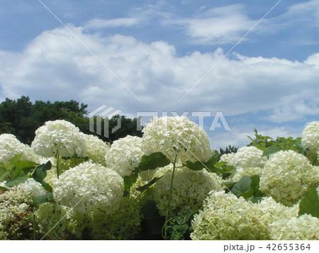 ハイドランジアアナベルというアジサイの白い花 42655364